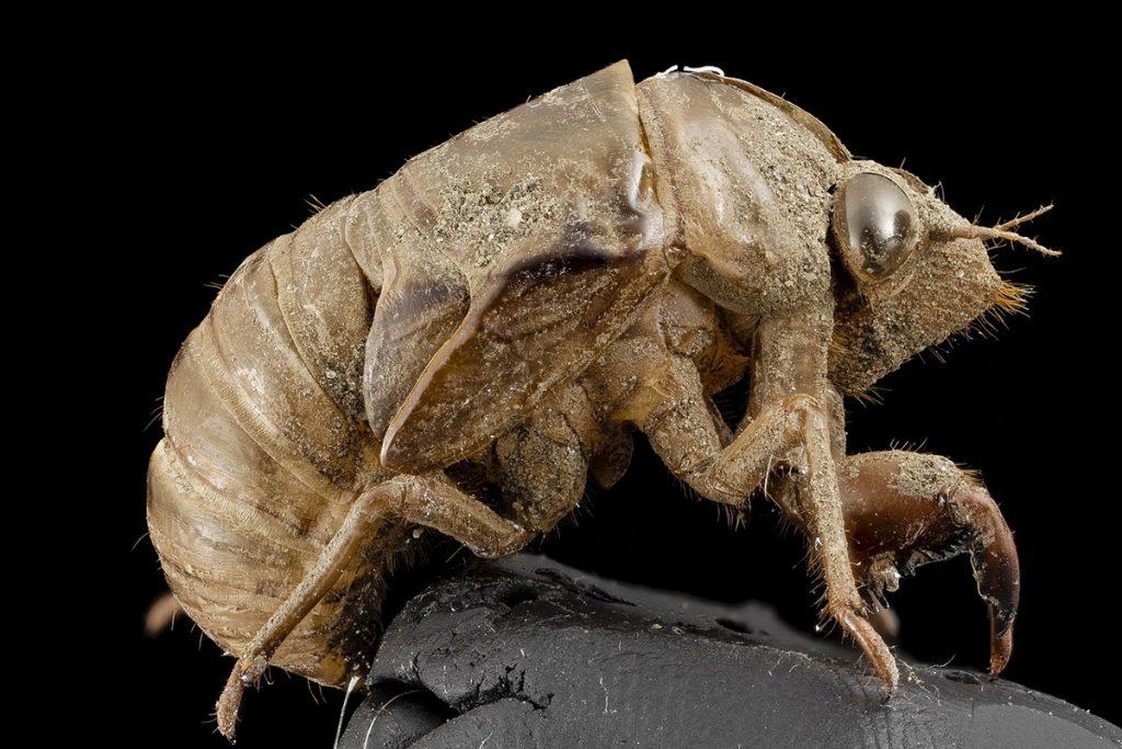 Creepy Cicada